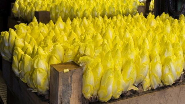 Prächtig Bundesinformationszentrum Landwirtschaft: Wie wird Chicorée angebaut? &YR_47